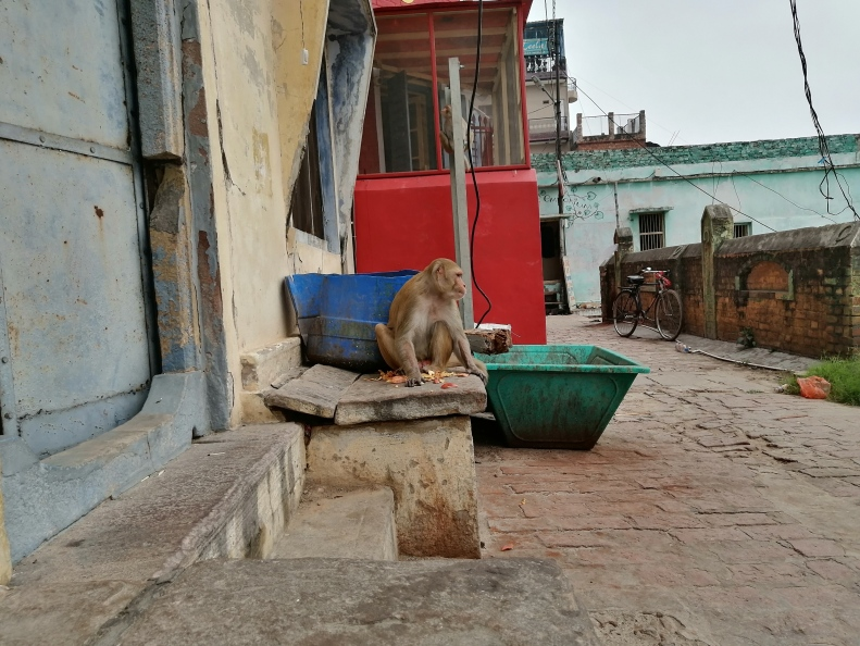scimmie-varanasi